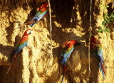 BIRD - MACAW - BLUE GREEN RED - MANU - MINERAL LICK.jpg