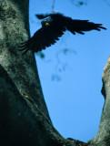 BIRD - MACAW - HYACINTH - PANTANAL B.jpg