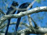 BIRD - MACAW - HYACINTH - PANTANAL E.jpg