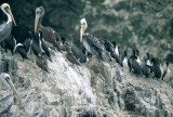 BIRD - PELICAN - BROWN - PARACAS WITH GUANAY CORMORANTS.jpg