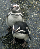 BIRD - PENGUIN - MAGELLANIC - BEAGLE CHANNEL (9).jpg