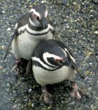 BIRD - PENGUIN - MAGELLANIC - BEAGLE CHANNEL D.jpg