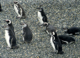 BIRD - PENGUIN - MAGELLANIC - BEAGLE CHANNEL.jpg