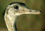 BIRD - RHEA - PANTANAL.jpg