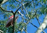 BIRD - ROSEATE SPOONBILL - PANTANAL.jpg