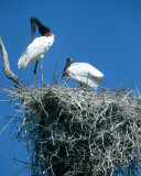 BIRD - STORK - JABIRU - PANTANAL H.jpg