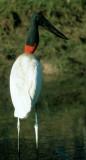 BIRD - STORK - JABIRU - PANTANAL K.jpg