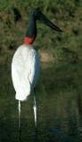BIRD - STORK - JABIRU - PANTANAL U.jpg