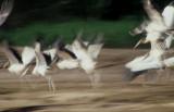 BIRD - STORK - WOOD - MANU.jpg