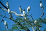 BIRD - STORK - WOOD - PANTANAL A.jpg