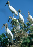 BIRD - STORK - WOOD - PANTANAL B.jpg