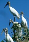 BIRD - STORK - WOOD - PANTANAL B1.jpg