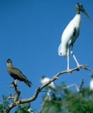 BIRD - STORK - WOOD - PANTANAL D1.jpg