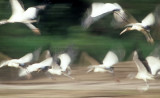 BIRD - STORK - WOOD STORKS IN FLIGHT IN MANU PERU.jpg