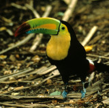 BIRD - TOUCAN - KEEL-BILLED - BELIZE - RAMBO C.jpg