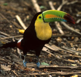BIRD - TOUCAN - KEEL-BILLED - BELIZE - RAMBO.jpg