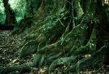 BELIZE - COCKSCOMB - BUTRESS ROOTS OF FOREST GIANTS.jpg