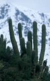 CHILE - DESERT ZONE WITH CACTI A1.jpg