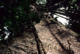 ECUADOR - AMAZONA - FOREST GIANT WITH LIANA.jpg