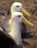 BIRD - ALBATROSS - WAVED C.jpg