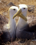 BIRD - ALBATROSS - WAVED K.jpg