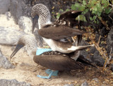 BIRD - BOOBY - BLUE FOOTED - GALAPAGOS L.jpg