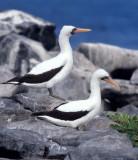 BIRD - BOOBY - MASKED - GALAPAGOS A.jpg