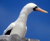 BIRD - BOOBY - MASKED - GALAPAGOS L.jpg