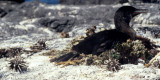 BIRD - CORMORANT - FLIGHTLESS - GALAPAGOS.jpg