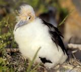 BIRD - FRIGATE BIRD D.jpg
