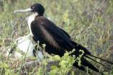 BIRD - FRIGATE BIRD L.jpg