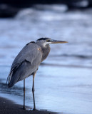 BIRD - HERON - GREAT BLUE - GALAPAGOS B1.jpg