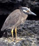 BIRD - HERON - LAVA - GALAPAGOS.jpg