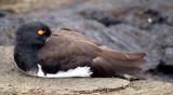 BIRD - OYSTER CATCHER - AMERICAN - GALAPAGOS B.jpg