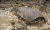 REPTILES - GALAPAGOS TORTOISE - LONESOME GEORGE - DARWIN RESEARCH STATION.jpg