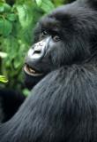 Mountain Gorillas of Rwanda