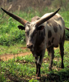 BOVID - COW.jpg
