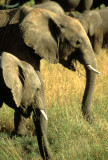 ELEPHANT - SERENGETI 12.jpg