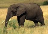 ELEPHANT - SERENGETI 16.jpg