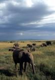ELEPHANT - SERENGETI 3.jpg