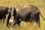 ELEPHANT - SERENGETI 50.jpg