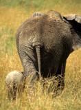 ELEPHANT - SERENGETI.jpg