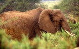 ELEPHANT - SHABA.jpg