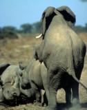 ELEPHANT - ZIMBABWE M.jpg