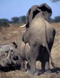 ELEPHANT - ZIMBABWE.jpg