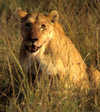 FELID - LION - SERENGETI (14).jpg