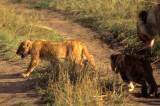 FELID - LION - SERENGETI (5).jpg