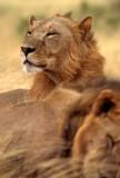 FELID - LION - SHABA.jpg