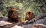 FELID - LION - ZIMBABWE (2).jpg