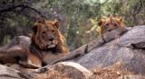 FELID - LION - ZIMBABWE (4).jpg